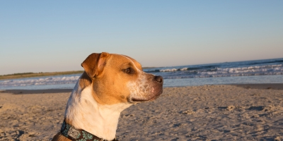 Ellie the pitbull at Second Beach in Rhode Island