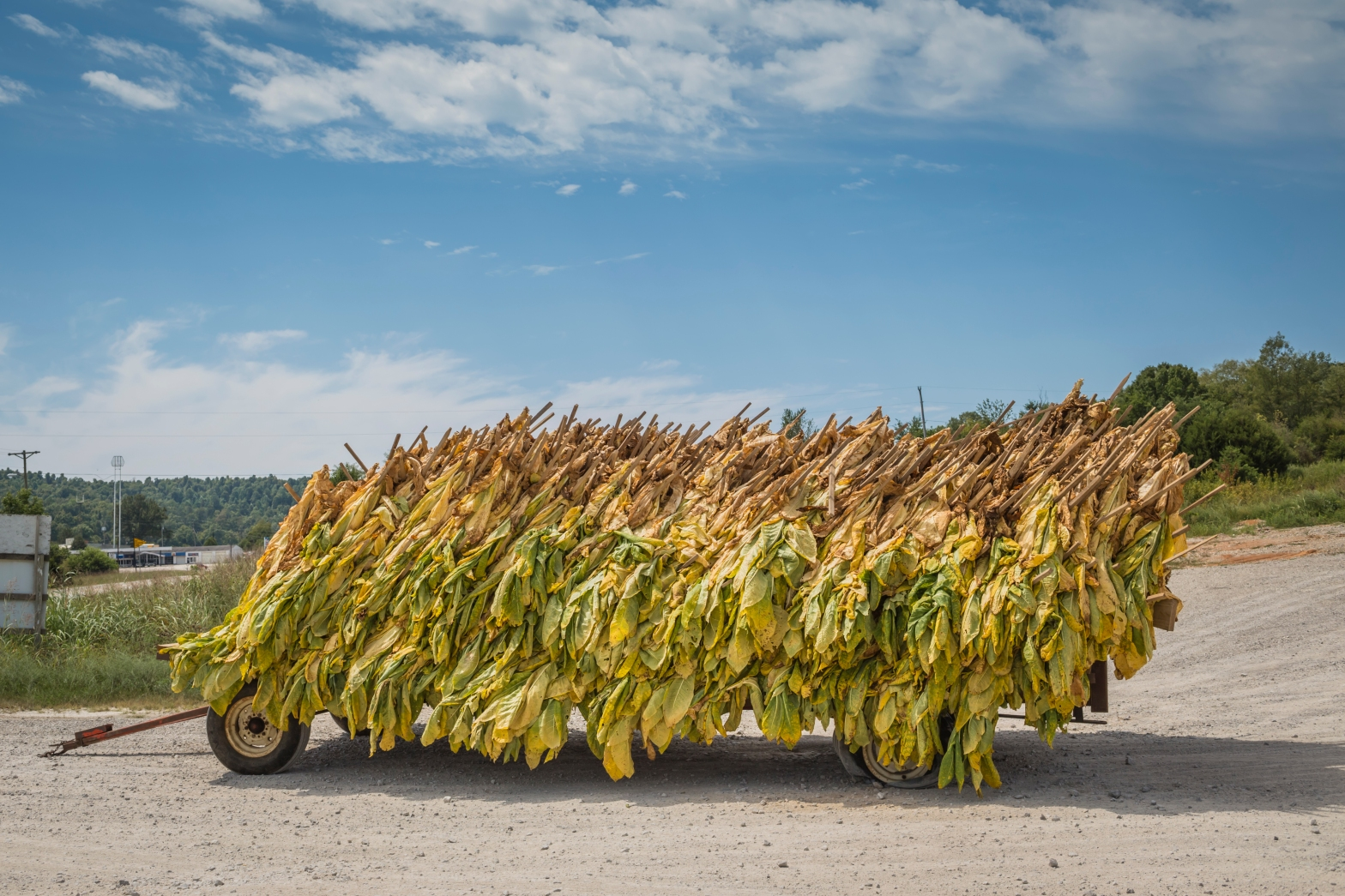Tobacco drying on a trailer in Kentucky