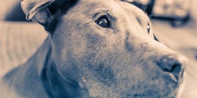 Grandpa Brooke - adopted senior pit bull