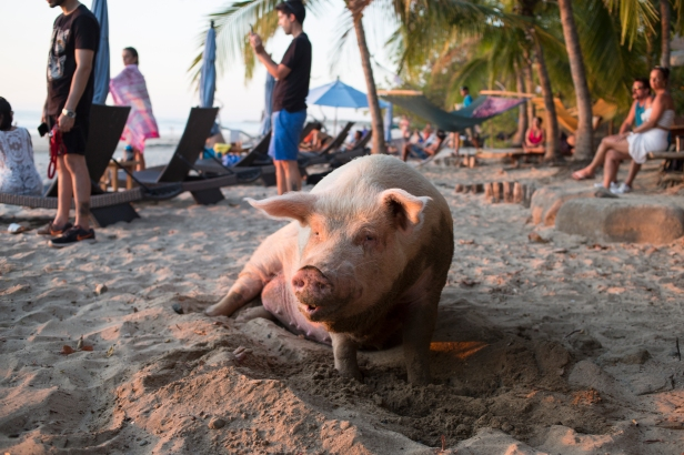 Lolita the pet beach pig.