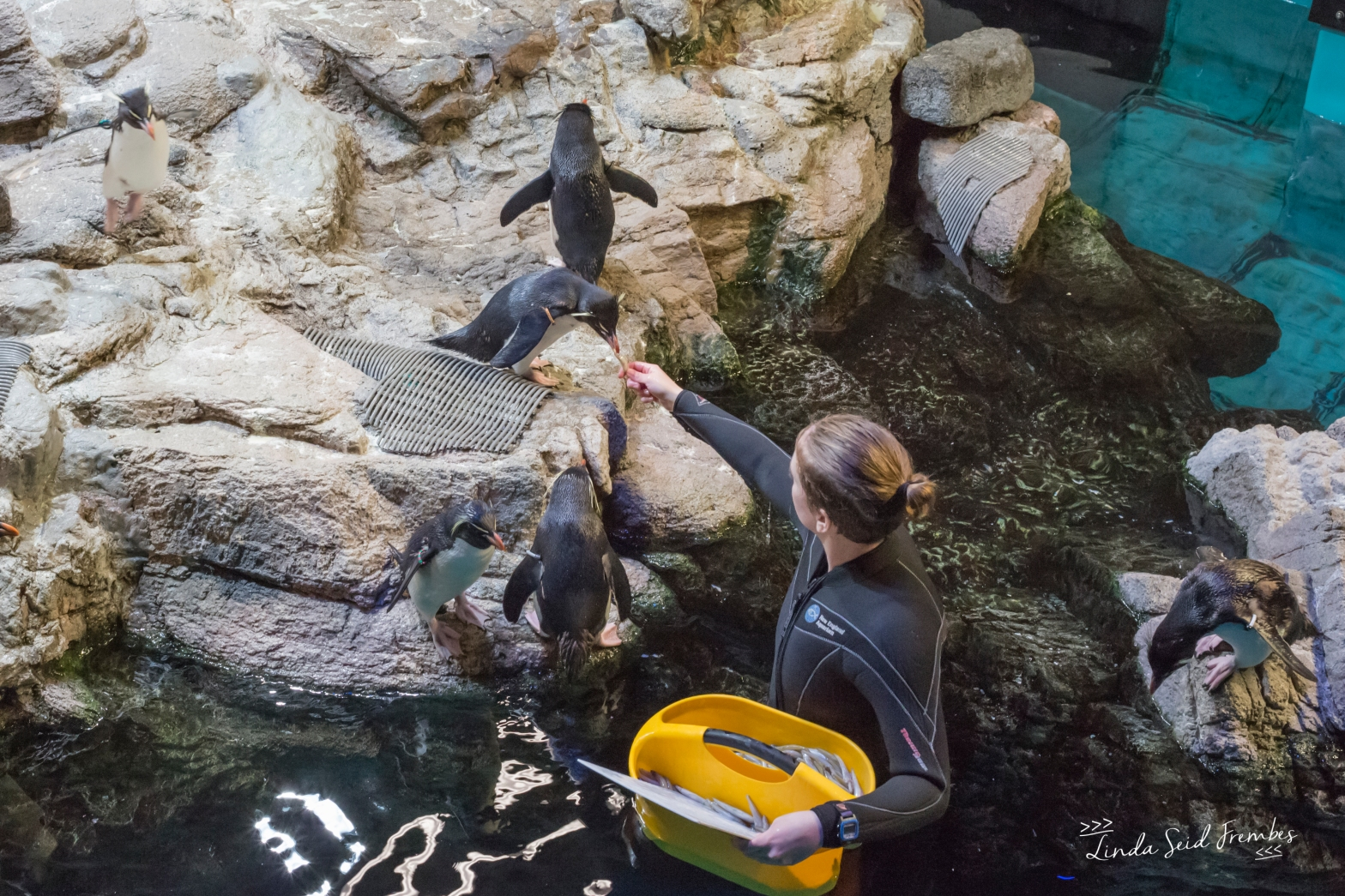 Penguins being hand-fed at the New England Aquarium